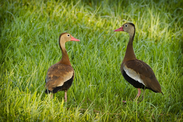 Black Bellied Whistling Ducks at Rip's Rookery on Jefferson Island in New Iberia, Louisiana