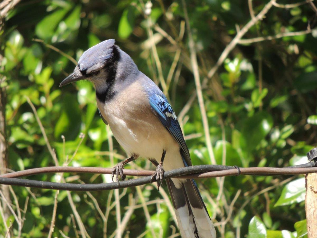 Blue Jay by Michael Musumeche