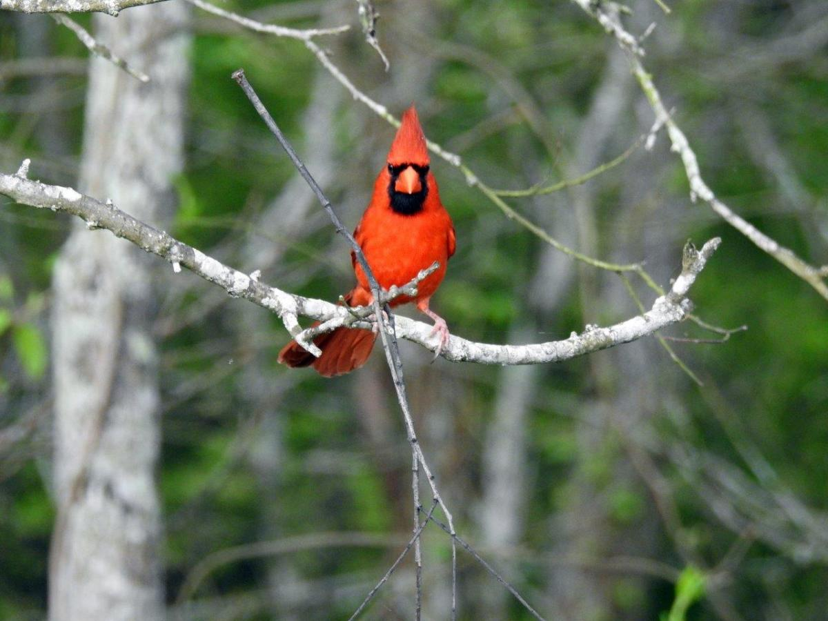 Northern Cardinal by Michael Musumeche