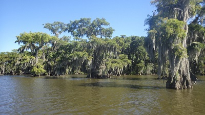 Old Cypress trees at Lake Fausse Pointe State Park - Courtesy Lake Fausse Pointe State Park