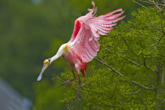 Roseate Spoonbill at Jefferson Island Rip's Rookery