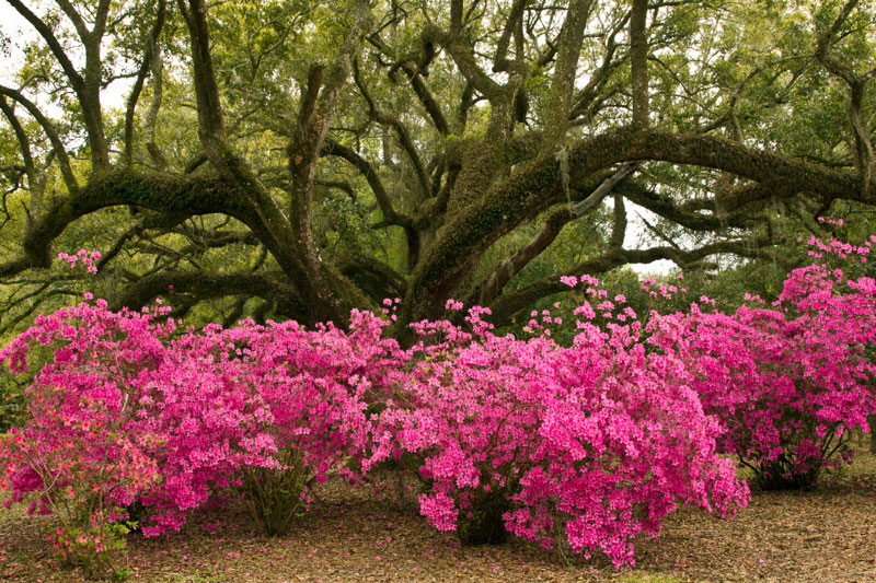 Avery Island Jungle Gardens azalea