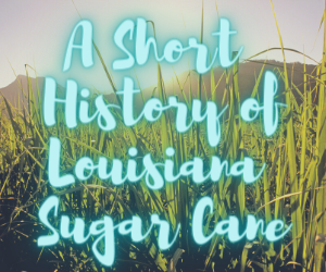 History of Louisiana Sugar Cane