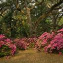 Azaleas with Live Oak Avery Island - Courtesy of Jungle Gardens