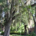 Gebert Oak in Historic Downtown New Iberia - Courtesy of Jand Braud