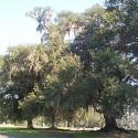 Historic New Iberia Oaks - Courtesy of Jane Braud