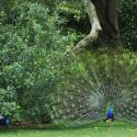 Rip Van Winkle Gardens Peacocks Jefferson Island - Courtesy of Rip Van Winkle Gardens