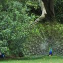 Rip Van Winkle Gardens Peacocks Jefferson Island - Courtesy of Rip Van Winkle Gardens